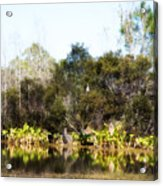 Spoon Bill Swamp Acrylic Print