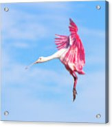 Spoonbill Ballet Acrylic Print
