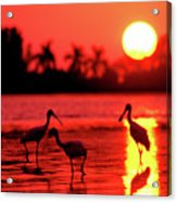 Spoonbills At Sunset Acrylic Print