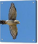 Spot-winged Falconet  In Flight Acrylic Print