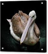 Spotlight On A Pink-backed Pelican Acrylic Print