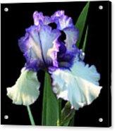 Spotlight On 'freedom Song' Bearded Iris Acrylic Print