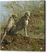 Spotted Cats Acrylic Print