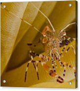 Spotted Cleaner Shrimp On Anemone Acrylic Print