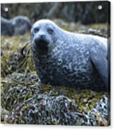 Spotted Coat Of A Harbor Seal Acrylic Print