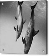 Spotted Dolphins - Bw Acrylic Print