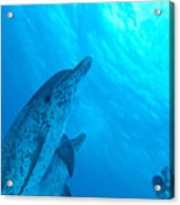 Spotted Dolphins Acrylic Print