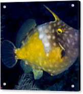 Spotted Filefish Acrylic Print