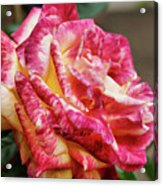 Spotted Rose Acrylic Print