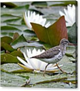 Spotted Sandpiper And Lilies Acrylic Print