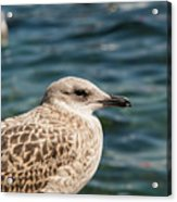 Spotted Seagull Acrylic Print