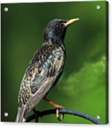 Spotted Starling Acrylic Print