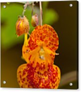 Spotted-touch-me-not And Buds Acrylic Print