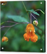 Spotted Touch-me-not Acrylic Print