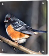 Spotted Towhee Portrait Acrylic Print