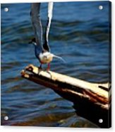 Spread And Tern Acrylic Print