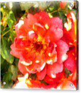 Spread Petals Of A Red Rose Acrylic Print