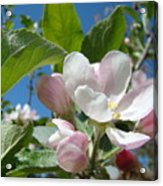 Spring Apple Blossoms Pink White Apple Trees Baslee Troutman Acrylic Print
