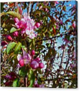 Spring Apple Blossoms- Spring Flowers Acrylic Print