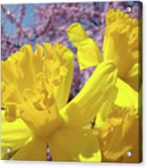 Spring Art Prints Yellow Daffodils Flowers Pink Blossoms Baslee Troutman Acrylic Print
