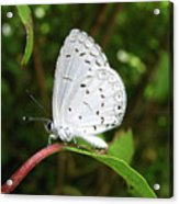 Spring Azure Butterfly Acrylic Print