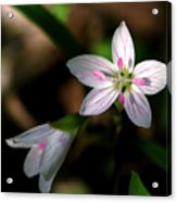 Spring Beauty Acrylic Print