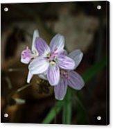 Spring Beauty Macro Acrylic Print