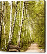 Spring Birches Woods Footpath Acrylic Print