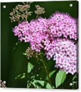 Spring Bloomers  Acrylic Print