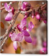 Spring Blooms In Nevada Acrylic Print