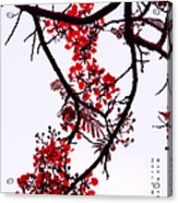 Spring Blossom In Maldives. Flamboyant Tree Acrylic Print