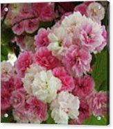 Spring Blossom 3 Acrylic Print