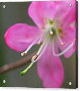 Spring Blossom Close Up Acrylic Print