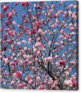 Spring Blossoms Against Blue Sky Acrylic Print