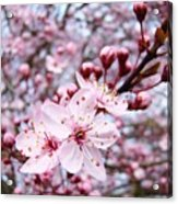 Spring Blossoms Art  Pink Tree Blossom Baslee Troutman Acrylic Print