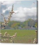 Spring Blossoms Acrylic Print