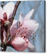 Spring Blossoms  Acrylic Print by Rosalie Klidies