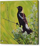 Spring Bobolink Acrylic Print