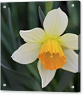 Spring Bow Acrylic Print