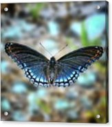 White Admiral Or Red-spotted Purple Acrylic Print