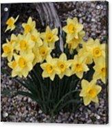 Spring Cheerleaders - Daffodils Acrylic Print