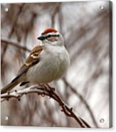 Spring Chipping Sparrow Acrylic Print
