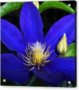 Spring Clematis Acrylic Print