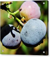 Spring - Colors - Blueberries Acrylic Print
