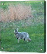 Spring Coyote  Acrylic Print