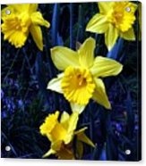 Spring Daffodills Acrylic Print