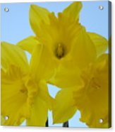 Spring Daffodils 2 Flowers Art Prints Gifts Blue Sky Acrylic Print