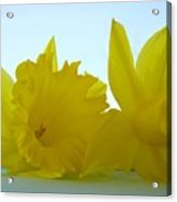Spring Daffodils Flowers Art Prints Blue Skies Acrylic Print