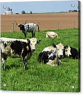 Spring Day With Cows On An Amish Cattle Farm Acrylic Print