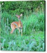 Spring Deer Acrylic Print
